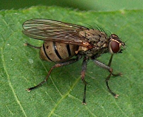 Tiger Fly (Coenosia)