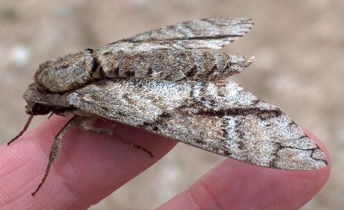 Ash Sphinx Moth (Hodges 7783) Manduca jasminearum
