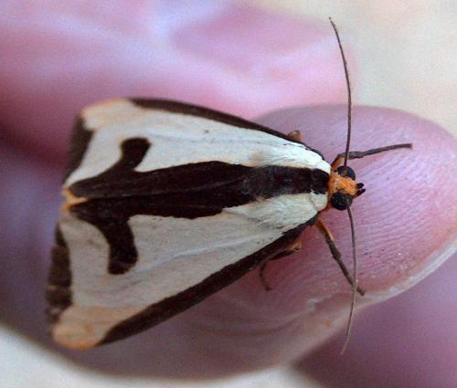 Clymene Moth (Hodges #8107) Haploa clymene