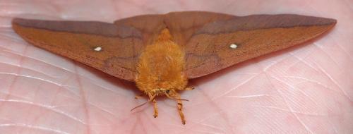 Northern Pink-striped Oakworm Moth (Anisota virginiensis)