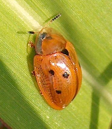 Golden Tortoise Beetle (Charidotella sexpunctata)