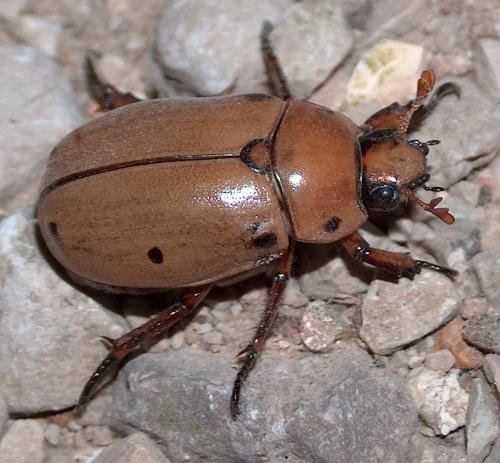Grapevine Beetle (Pelidnota punctata)