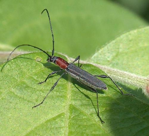 Longhorned Beetle (Rhopalophora longipes)