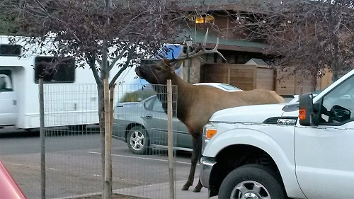 downtown-elk