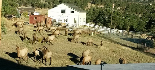 morning-elk
